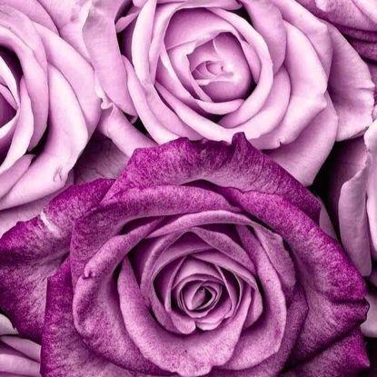 Изображение Футер 2х нитка,петля, Лавандовые розы